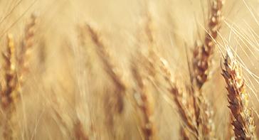 Le blé dur,